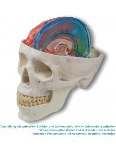 Simulatore di artroscopia della spalla Erler Zimmer HSSH01
