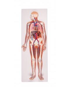 Erler Zimmer, modello anatomico di cervello con arterie, scomponibile in 9 parti