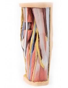 Erler Zimmer, modello anatomico di articolazione dello scheletro della mano  con numerazione