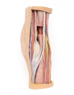 Erler Zimmer, modello anatomico di articolazione dello scheletro della mano su stativo