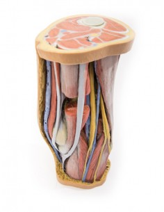 Erler Zimmer, modello anatomico di articolazione della spalla con legamenti