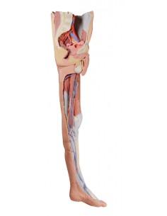 Erler Zimmer, modello anatomico di scheletro del piede