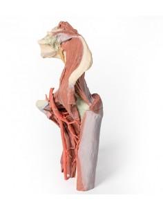 Erler Zimmer, modello anatomico di articolazione dello scheletro del piede, con tronchi di tibia e perone