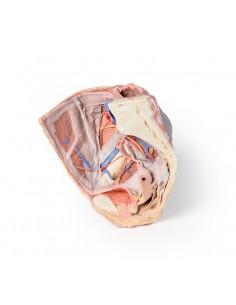 Erler Zimmer, modello anatomico di bacino femminile con pavimento pelvico, in 12 parti