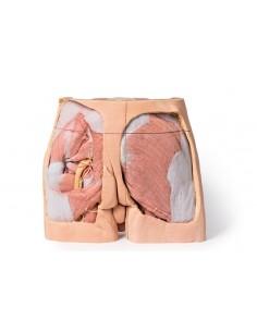 Erler Zimmer, modello anatomico didattico di 4 stadi dei bronchi