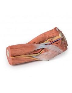 Erler Zimmer, modello anatomico di cuore, scomponibile in 2 parti G210