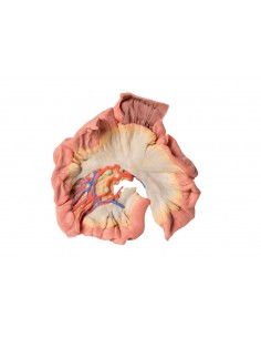 Erler Zimmer, modello anatomico di cuore con ghiandola del timo  scomponibile in 3 parti G108