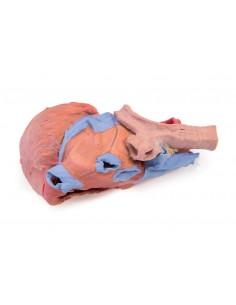 Erler Zimmer, modello anatomico di cuore digitalizzato su standard DICOM, R40100