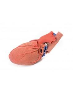 Erler Zimmer, modello anatomico di organi del sistema respiratorio, G410