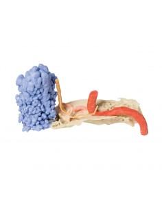 Erler Zimmer, modello anatomico per spiegare la corretta igiene orale D216