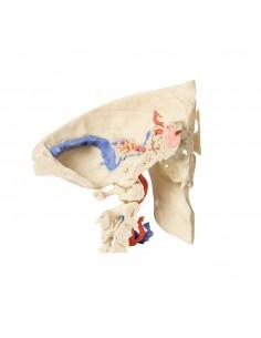 Erler Zimmer, modello anatomico di denti, ingrandito 4 volte D250