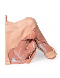Erler Zimmer,  modello anatomico di occhio, ingrandito 4 volte, in 6 parti F210
